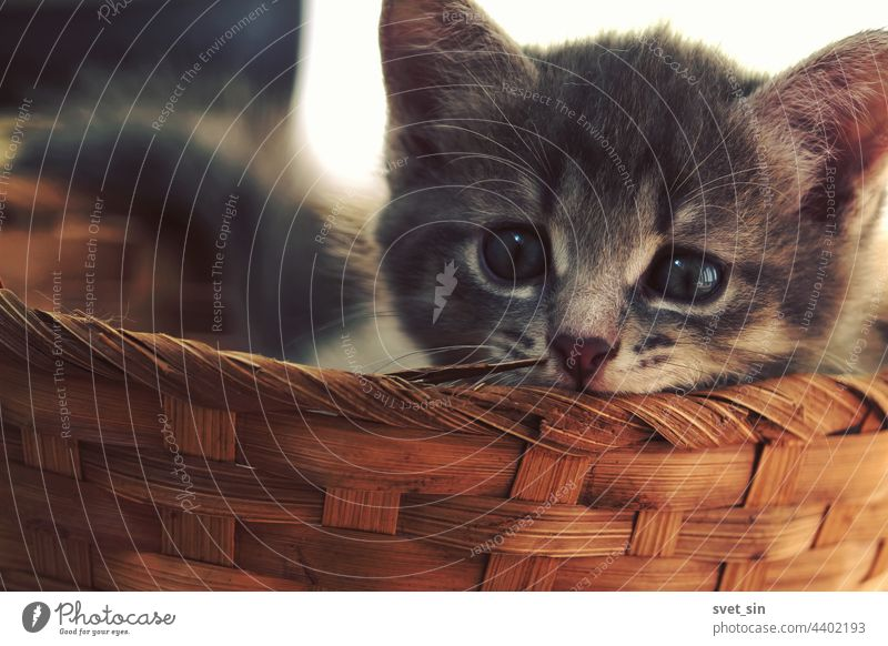 A striped gray brown kitten lies in a wicker basket and looks attentively at the camera. face cat indoor kitty tabby grey home looking at camera adorable animal