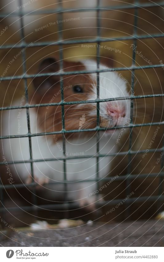 Guinea pig behind bars Hamster Animals in captivity Game park rodent Grating Enclosure Animal face show claws To hold on nibble Whiskers brown and white