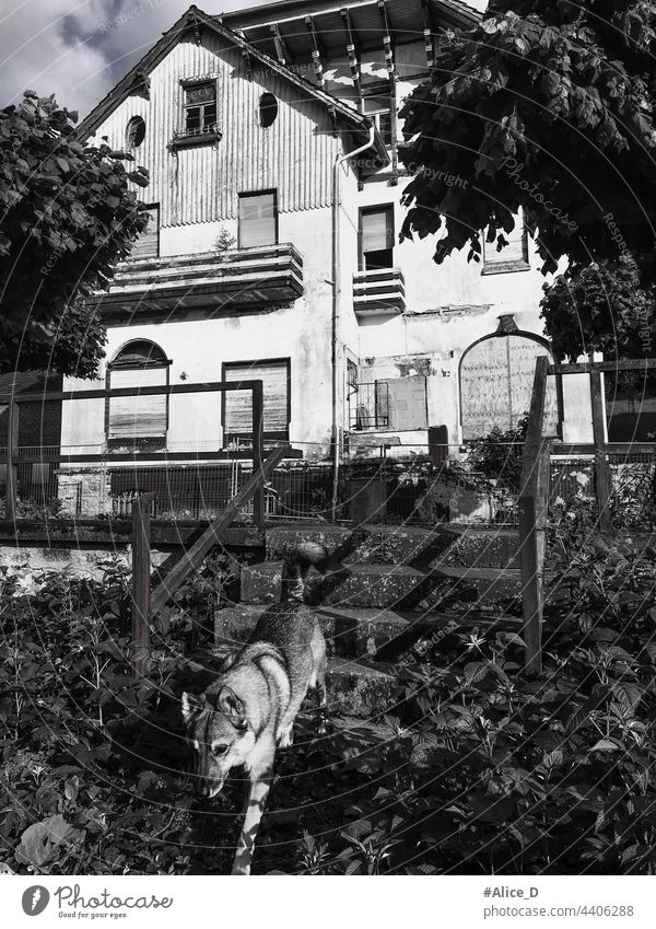 wolf in the overgrown garden of an abandoned house husky wild outdoors fur wildlife predator animal dog stairs black and white spooky gruesome creepy house