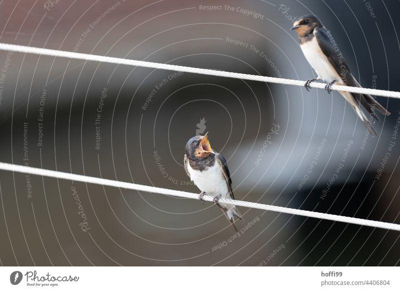 Swallows in monologue rip open the beak Beak Bird Dialogue Rant Grumble Animal portrait Wild animal Animal face Looking