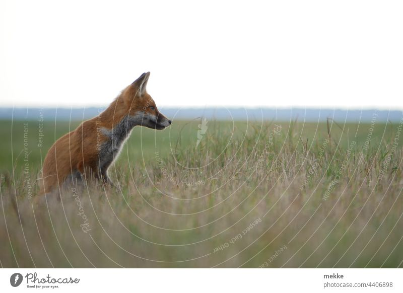 Little fox on the lookout in the deep grass Fox Animal Wild animal Nature Animal portrait Grass Meadow attention Observe observation Concentrate concentrated