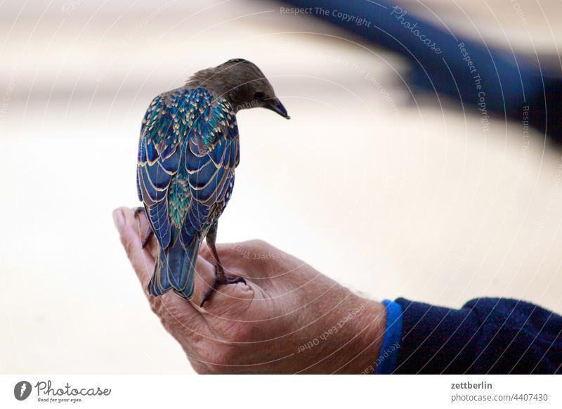 Zahmer Star vogel star gemeiner star Sturnus vulgaris hand mann sitzen halten rücken rückansicht zahm halbzahm neugier nachbarschaft gemeinschaft