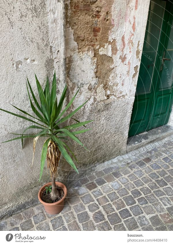 Palm tree. Plant potted plants Green Leaf Foliage plant Exterior shot Facade Front door House (Residential Structure) Wall (building) Deserted Old