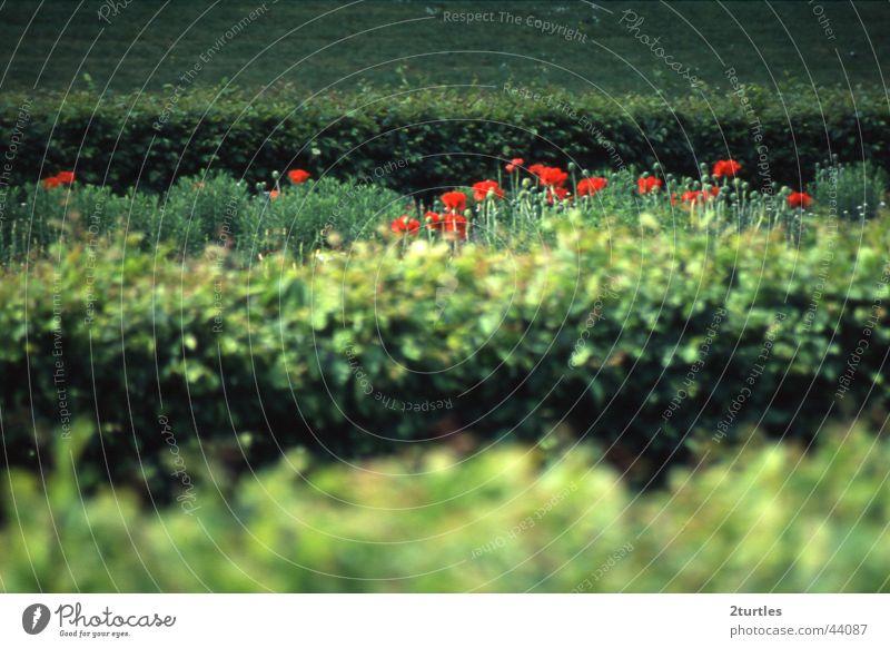 Flower Green Red Poppy Hedge
