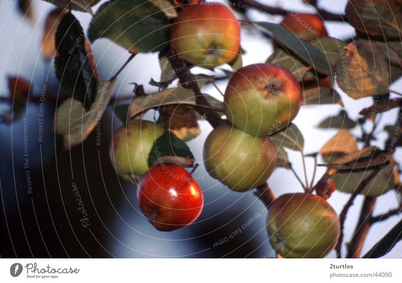 roo cheeks Colour photo Exterior shot Deserted Day Fruit Apple Green Red Apple tree Poisoned rosy-cheeked Twig