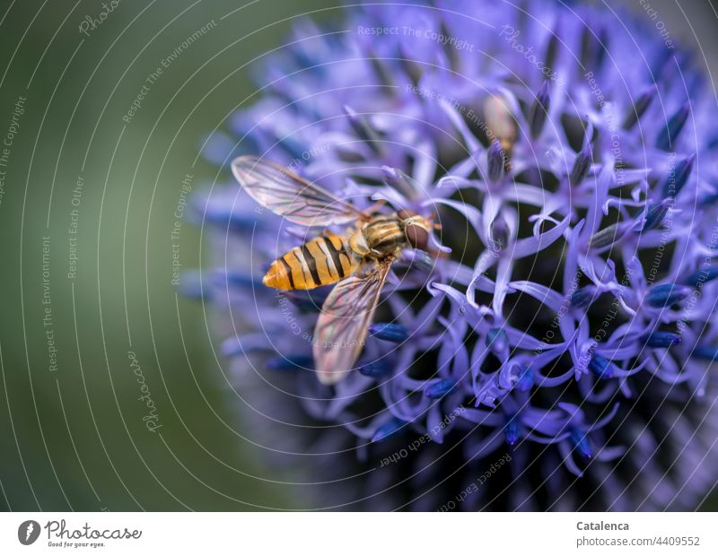 Hoverfly on a blue globe thistle in the garden Nature flora fauna Animal Insect Fly hoverfly Plant Blossom Thistle Summer Garden Blue Green Yellow Day daylight