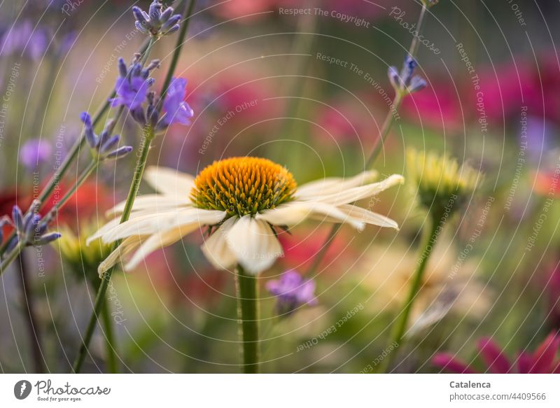 Flower bed with echinacea and lavender wax Botany echinacea purpura Pink purple Blossom Plant Summer Meadow fragrances fade blossom daylight Day Garden flora