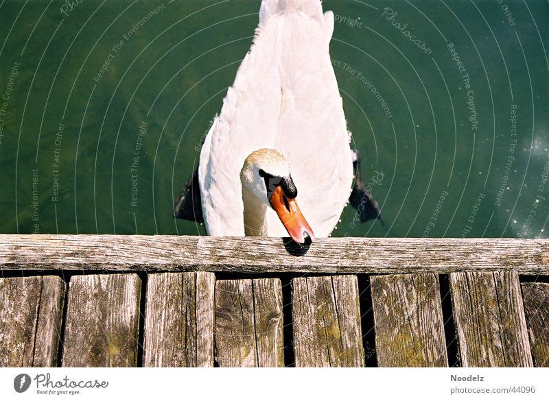Nature White Sun Green Animal Footbridge Swan Lake zurich