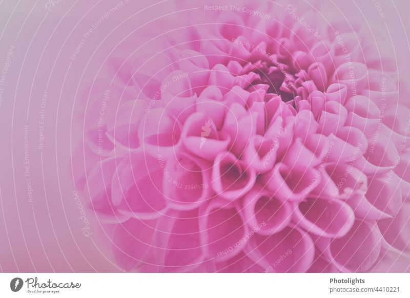Close up of pink dahlia flower with soft pink background Esthetic Flower power Deserted Shallow depth of field Detail Macro (Extreme close-up) Colour photo
