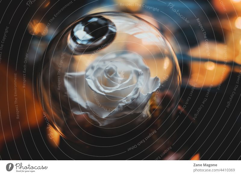 White rose in glass dome moody gift conservation lights fall cold sad promise love Relationship Valentine's Day Romance white rose fall mood summer memories