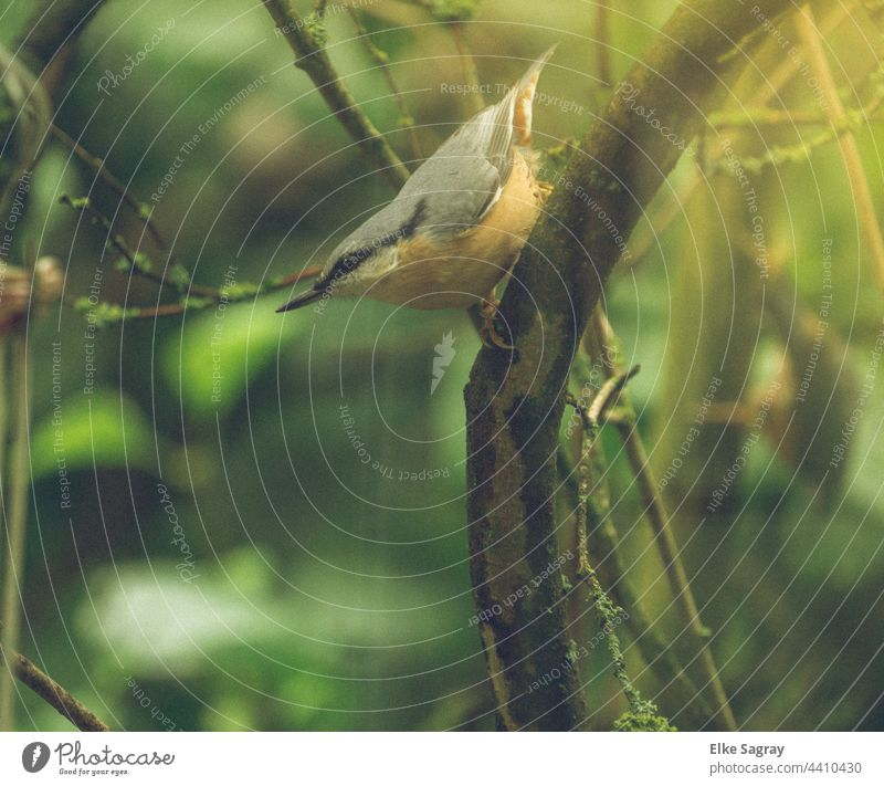 Young bird Nuthatch Bird Nature Exterior shot Animal portrait Close-up Colour photo Grand piano Day Feather Eurasian nuthatch Beak naturally