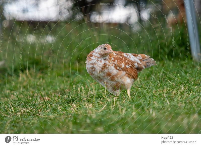 Young chicken in the meadow hen Bird Living thing feathers Animal birds Nature Meadow Willow tree Farm Agriculture agriculturally Flightless bird young animal