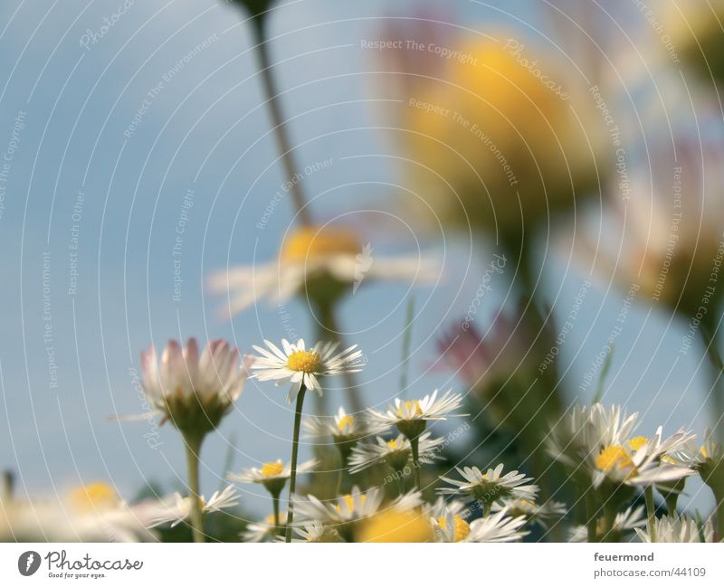 Sun Flower Green Blue Summer Yellow Meadow Blossom Grass Spring Daisy Blue sky