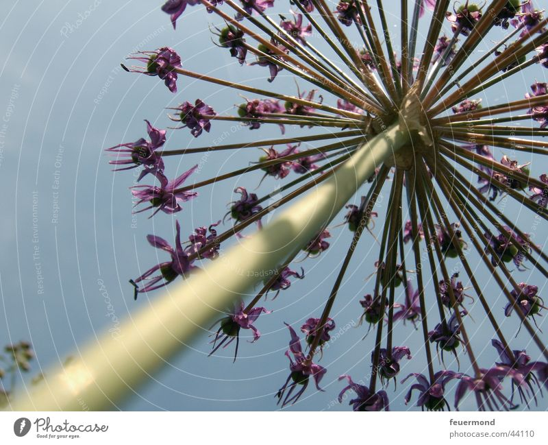 Giant Flower Blossom Violet Stalk Worm's-eye view Green Sky Blue bloom