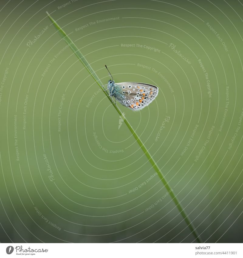 small butterfly sits on a blade of grass blue Butterfly Diagonal obliquely Green Small Nature Macro (Extreme close-up) Plant Meadow Animal portrait 1 Deserted