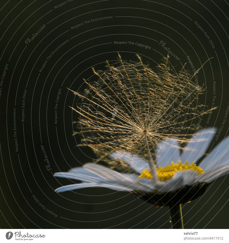 Seed umbrella lies on a daisy flower and is illuminated by the warm evening light Marguerite Blossom seed stand Flower Summer Warm light Delicate