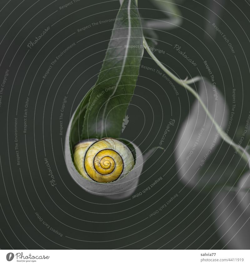 yellow snail shell lies hidden in the willow leaf Crumpet Snail shell Leaf Nature Macro (Extreme close-up) Forms and structures Protection Safety (feeling of)