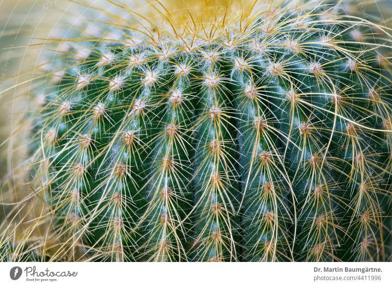 Close-up of Parodia leninghausii, a cactus from Brazil Cactus Plant Parodia lenninghausii Leninghouse's parrot Notocactus leninghausii cactaceae succulent
