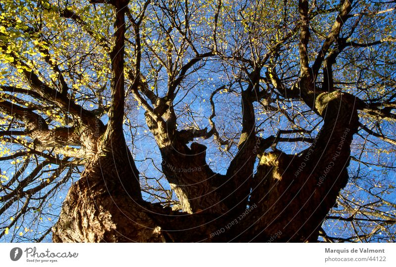 Old Sky Tree Sun Blue Perspective Tree trunk Treetop Tree bark Branchage Deciduous tree Twigs and branches Lime tree Headstrong Crutch