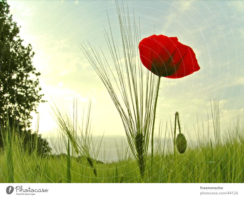 poppy seed with ear Corn poppy Field Ear of corn Meadow Red Green Hayfield Nature Sun Grain spike grassland