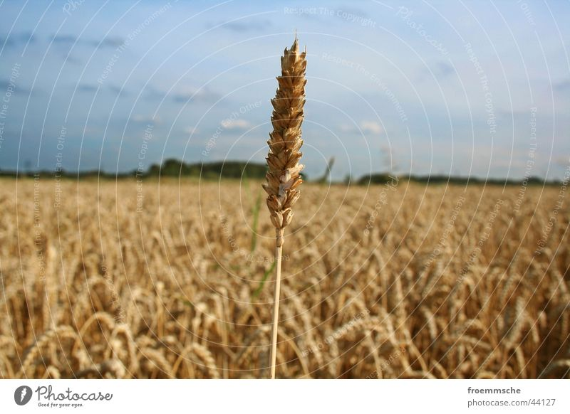 Nature Sky Landscape Field Grain Ear of corn