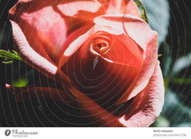 Closeup of beautiful orange red rose in garden. Pale Red orange rose flower on background blurry rose flower with leaves in the garden of roses. Care of garden bush roses