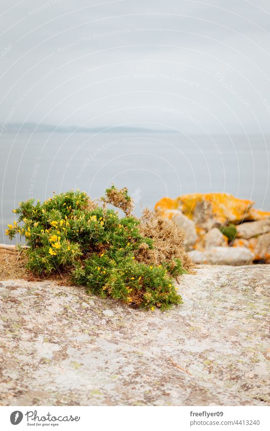 Toxo plant growing on rocks toxo tojo galicia tourism landscape mediterranean sea seascape granite horizon copy space nobody beach day nature water ocean