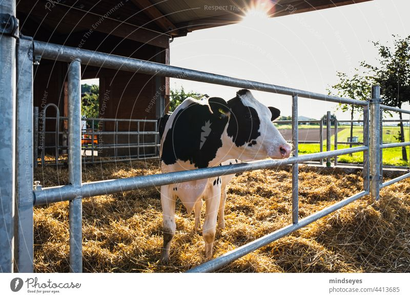 Dairy cow in the evening sun Farm cows Cattle Cow Free-roaming playpen Agriculture Livestock Agricultural product dairy Milk production Spotted mountain cattle