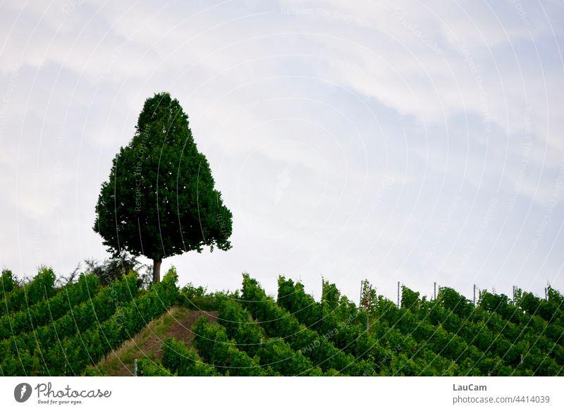 A lone tree overlooks the vineyard Tree Treetop Vine Vineyard Wine growing vines Winery Bunch of grapes vineyard slopes series Row Line lines