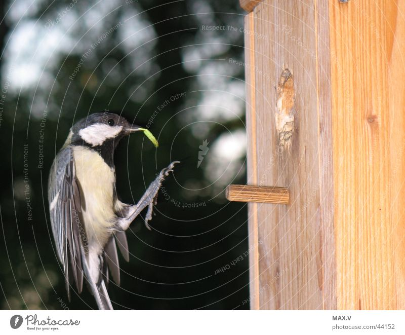Garden Bird Flying Wing Feather Dinner Feeding Nest Caterpillar Birdhouse Meal Tit mouse Parental care Nesting box