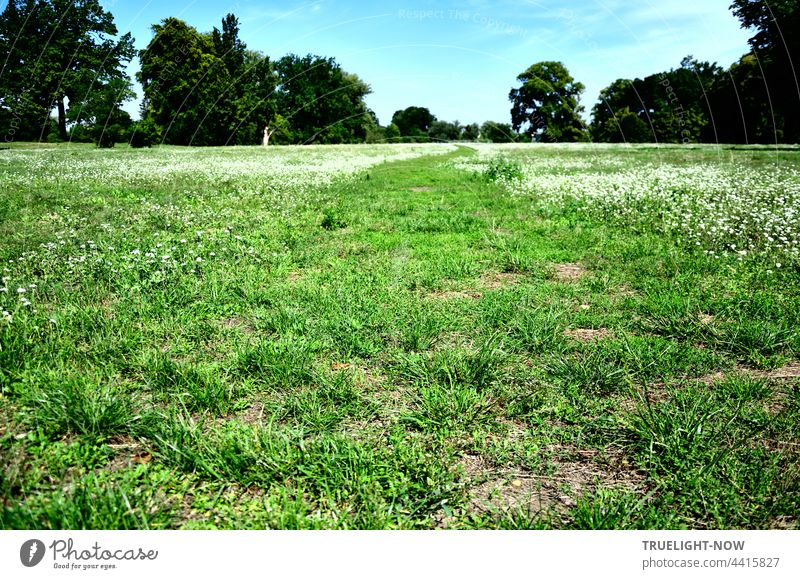 The green meadow. With white flower carpet. Trees and sky Meadow Green Grass mown fresh green white flowers Carpet of flowers Park playground Free Places bushes