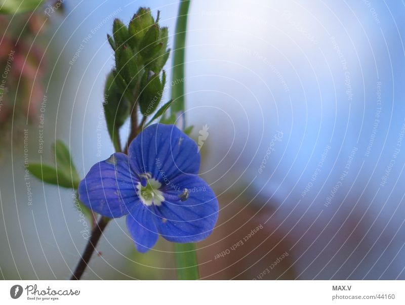 Blue Plant Blossom Near Bud Graceful Blossom leave