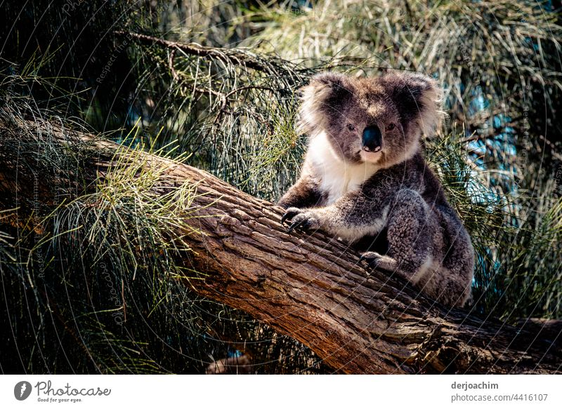 A small koala sits on a tree trunk and looks at the photographer. What does he want again and sticks out his tongue... Koala Australia Nature Animal
