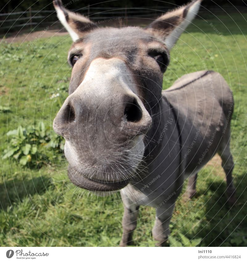 ass snout with whiskers House donkey Equus asinus asinus Donkey Farm animal Grey Bull ungulate Furstrip eel line eye contact Head ears Snout Beard hair