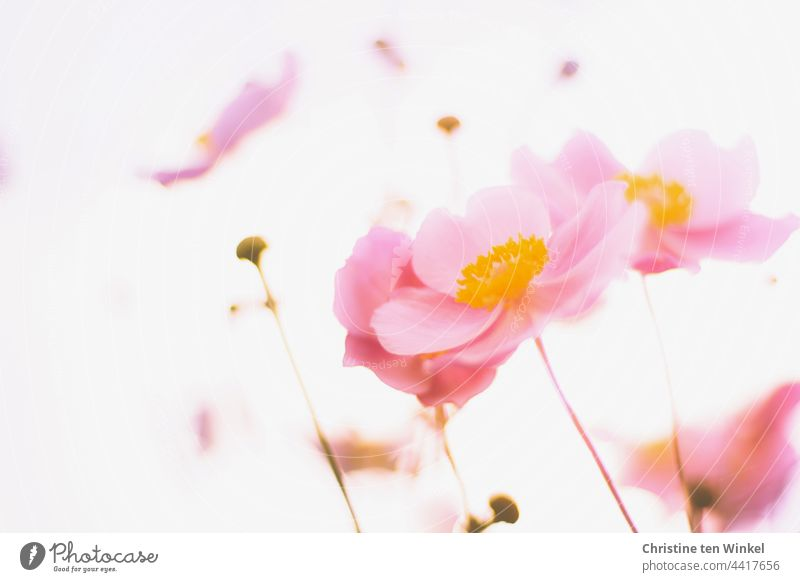 autumn anemones Chinese Anemone Anemone hupehensis pink flower morning light Back-light Autumn Anemone Garden Worm's-eye view blurriness Blossoming Plant Flower