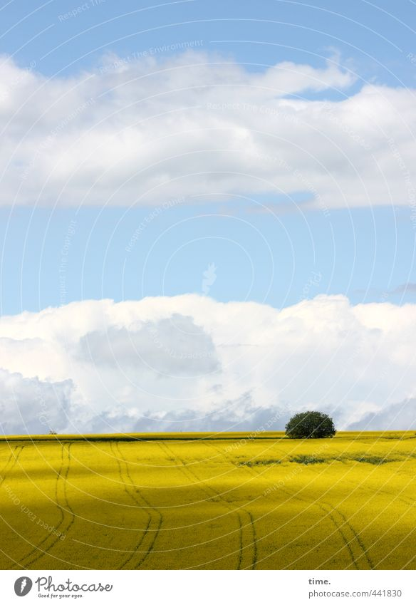 reintroduced into the wild Agriculture Forestry Environment Nature Earth Sky Clouds Horizon Beautiful weather Plant Tree Agricultural crop Canola Canola field