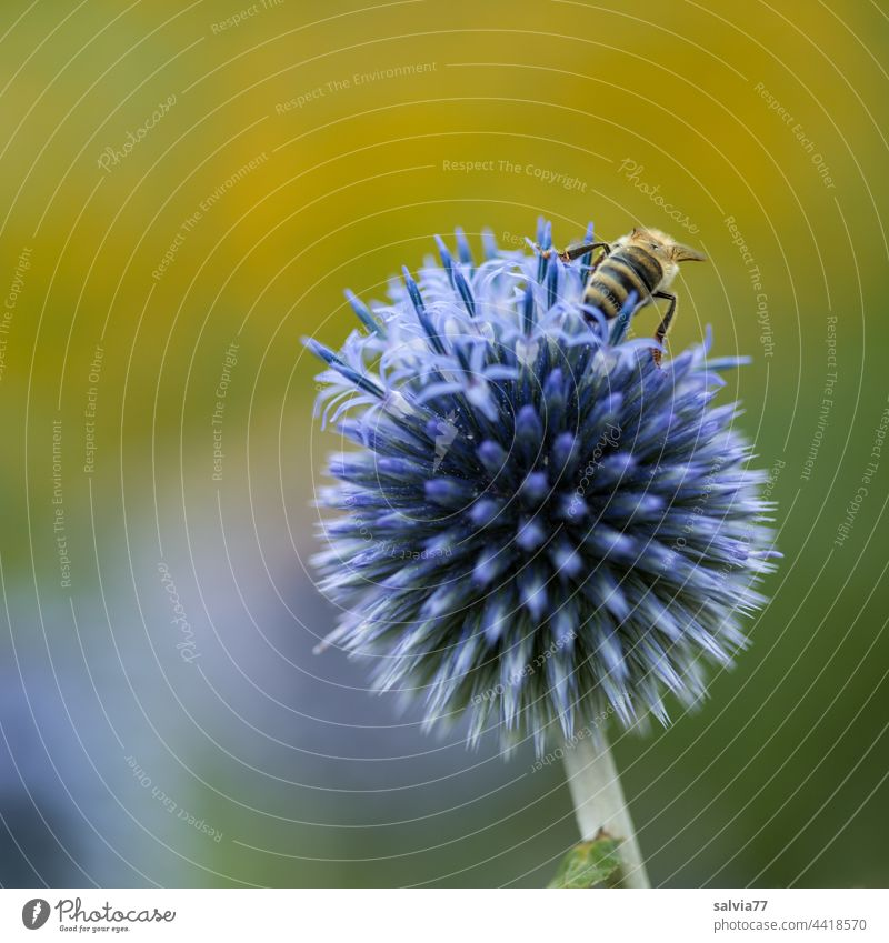 blue and prickly globe thistle Bee Thorny Flower Blue Yellow Blossom Nature Summer Macro (Extreme close-up) Nectar Garden Plant Fragrance Blossoming Honey bee