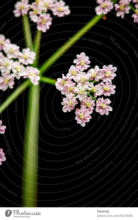 Macro-image of the umbel inflorescence of a meadow hogweed plant (lat: Heracleum sphondylium) isolated on black. Found in Bavaria. Flower Blossom