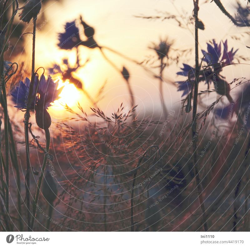 Sunset cornflowers and grasses Summer Illuminate Margin of a field evening stroll silent End of the day evening mood Light evening light gasifiers silhouettes