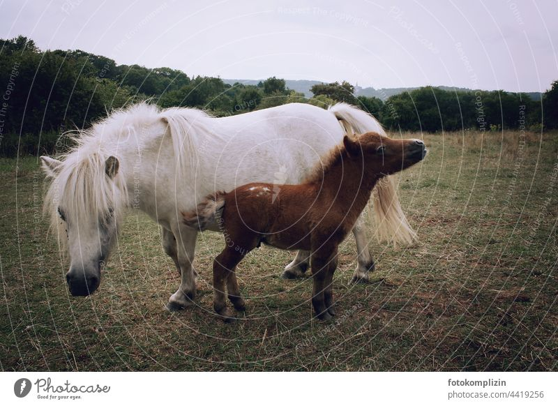 Pony mother with foal on the pasture Foal Bangs Ponie Horse horse Animal family Willow tree Baby animal Animal portrait Meadow Pair of animals mare dam