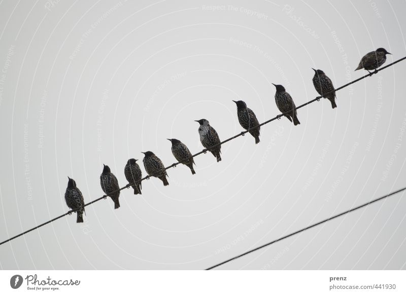 9+1 Environment Nature Animal Wild animal Bird Group of animals Blue Gray Starling 10 Sit Transmission lines Colour photo Exterior shot Copy Space top Day
