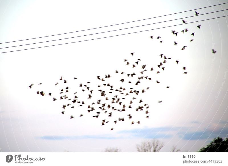 Preparation for the flight to the south birds Stare Migratory birds Flock swarm behaviour Protection group troop Flying Crowd bird migration Sky