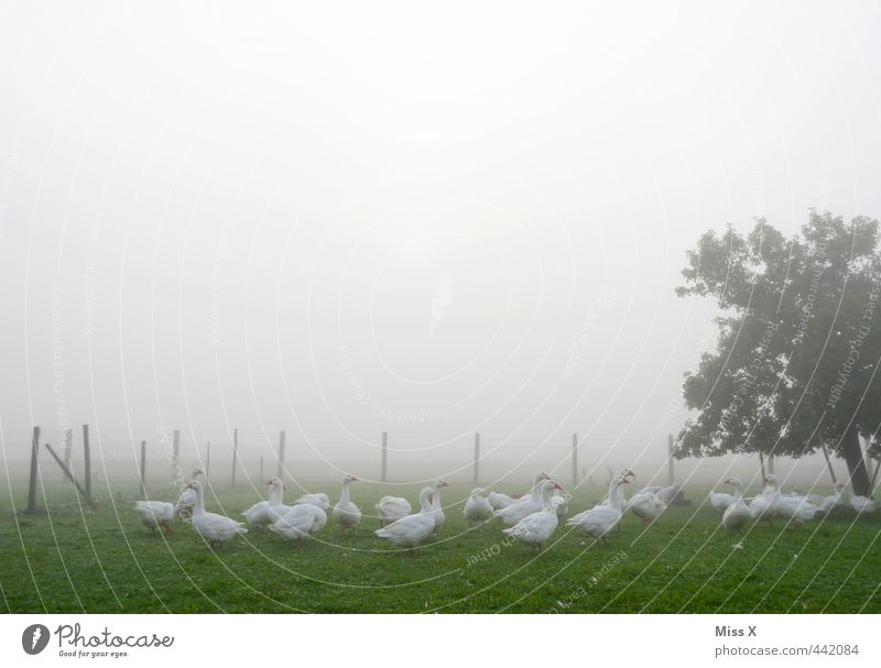 Geese in the fog Autumn Weather Bad weather Fog Garden Farm animal Bird Group of animals Dark Agriculture Keeping of animals Livestock breeding