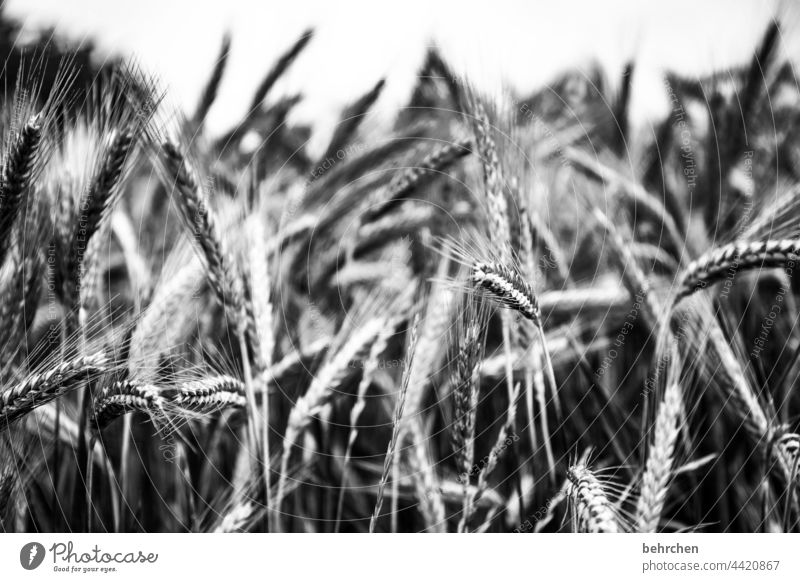 elixir of life spike Field Grain Summer Grain field Barley Rye Agriculture Cornfield Ear of corn Agricultural crop Deserted Harvest Nature idyllically Wheat