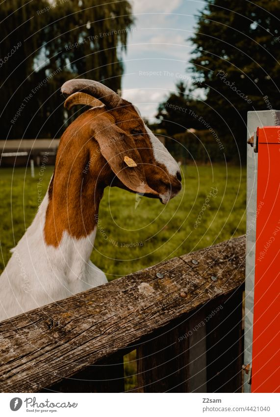 Goat in the petting zoo Petting zoo goat children Animal Farm animal Cute Brown inquisitorial Nature Park Fence Enclosure brand portrait animal portrait Wood