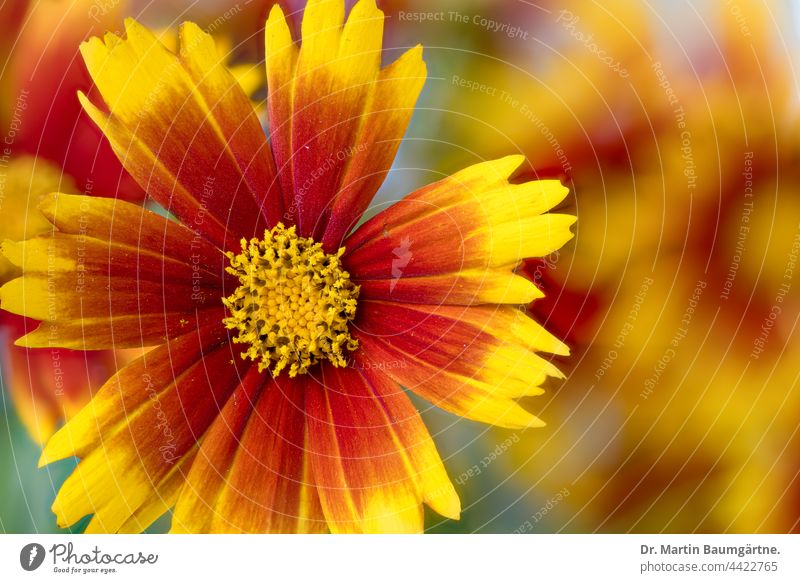 Inflorescence of Coreopsis Up Tick with yellow-red ray florets variety Up tick inflorescence shrub Flower Plant blossom summer bloomers Tongue blossoms