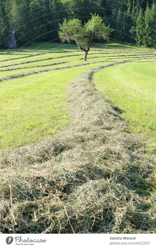 Fresh hay. Hay Meadow Summer Animal feed Origin naturalness Agriculture Flower meadow Austria Carinthia Healthy Field acre extension sunshine summer meadow