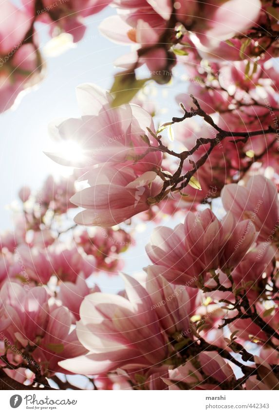 magnolietic Nature Plant Spring Summer Beautiful weather Flower Pink Magnolia plants Magnolia tree Magnolia blossom Fragrance Colour photo Exterior shot Detail