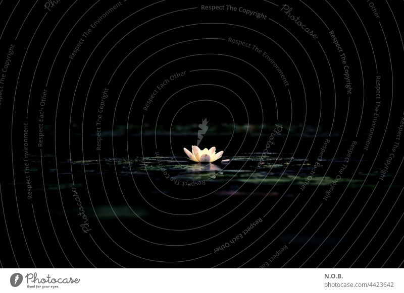A water lily glows in the darkness Water Lily Water lily Pond Lake Plant Nature Blossom Colour photo Deserted Water lily pond Aquatic plant Exterior shot