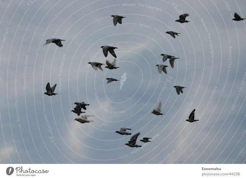 Sky White Blue Black Air Bird Wild animal Muddled Flock